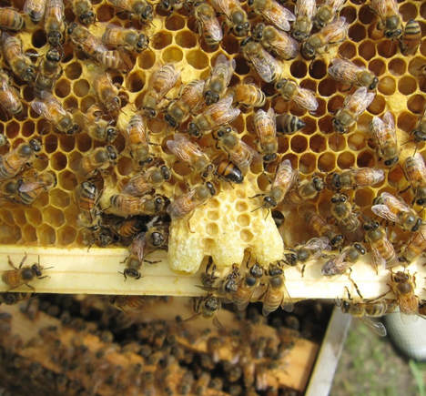 Queen cells in honey bee hive